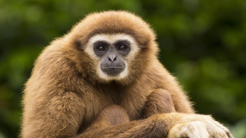法语动物世界:长臂猿的生活
